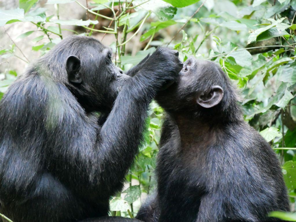 Schimpansen Kibale Nationalpark