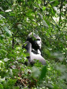 Silberrücken Gorilla Trekking