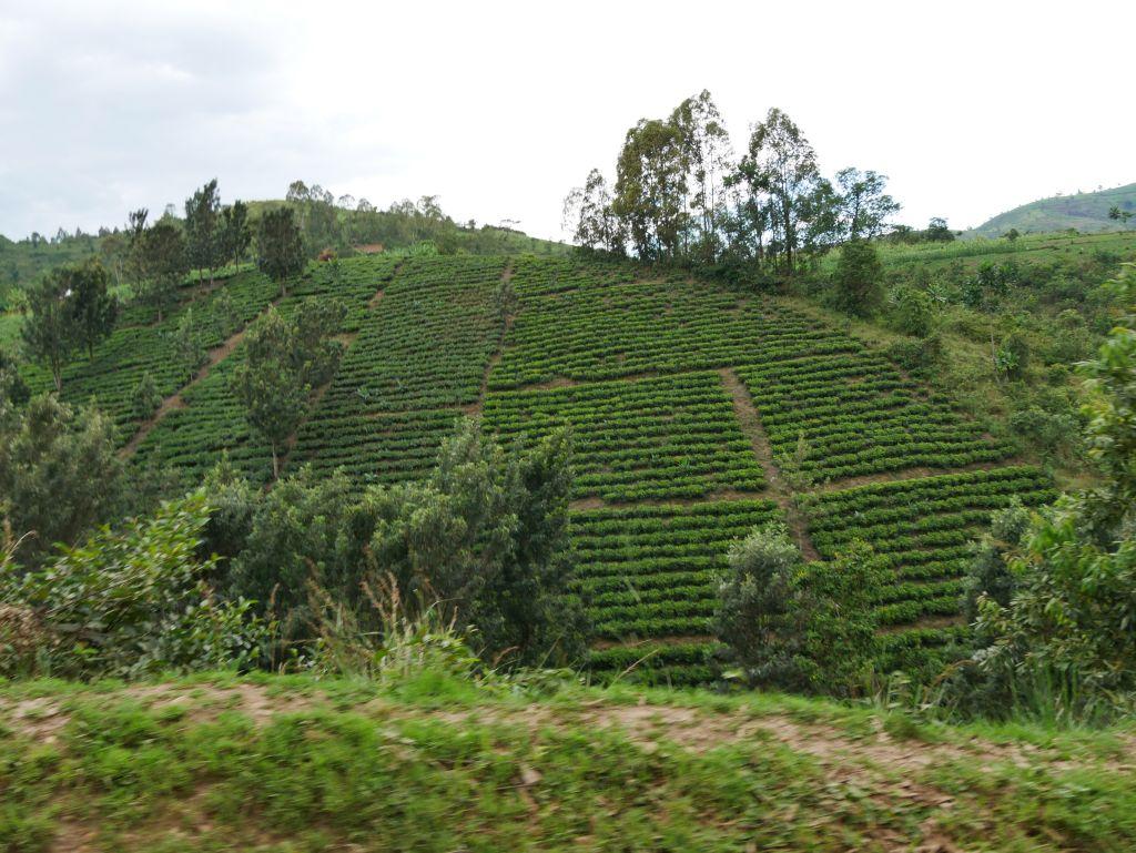 Teefelder Uganda