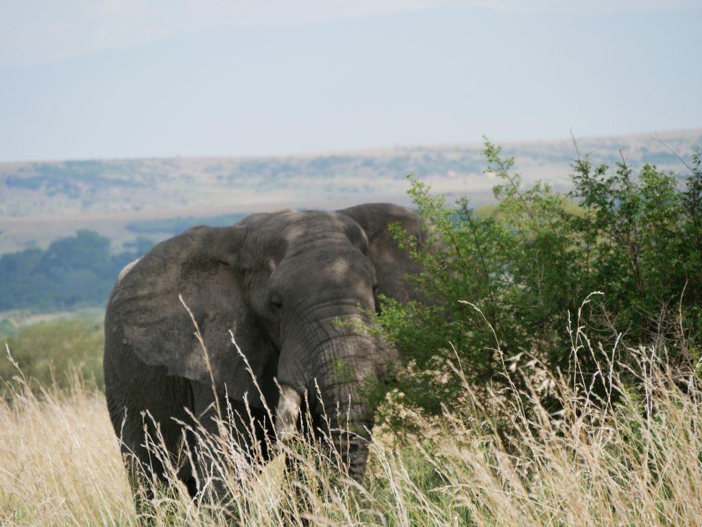 Elefant Safari Uganda
