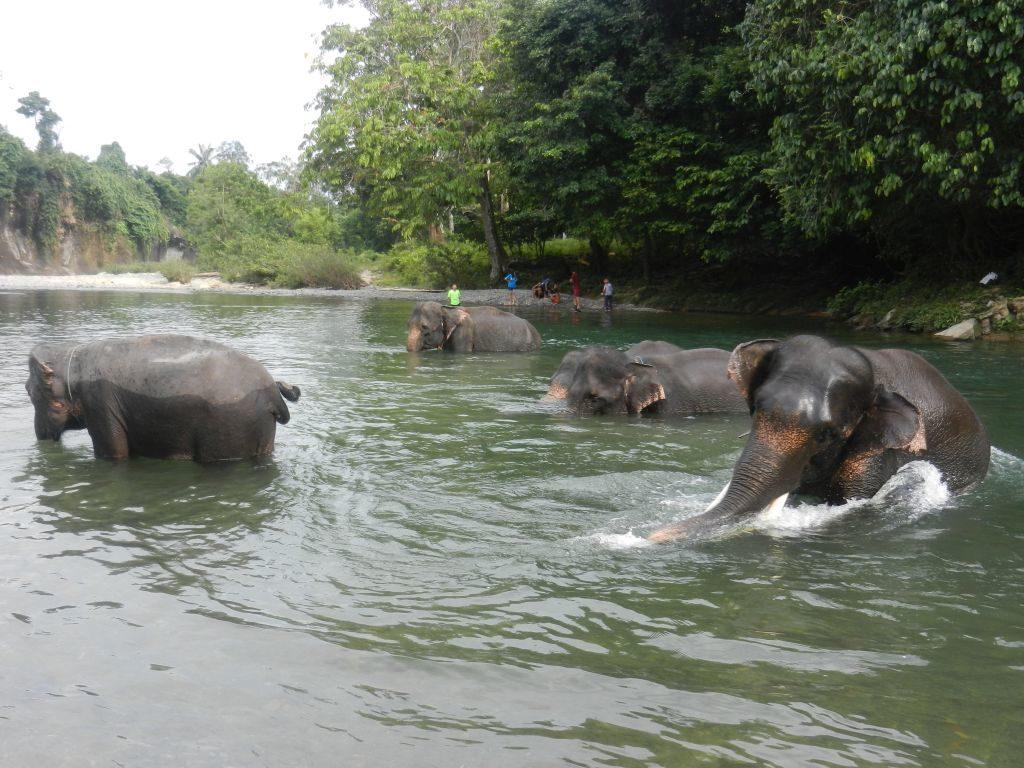 Elefanten Sumatra