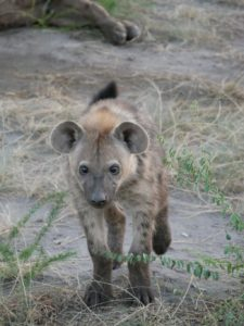 Hyänenbaby Uganda