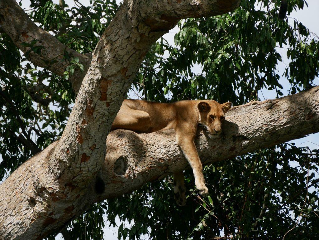 Löwe Safari Uganda