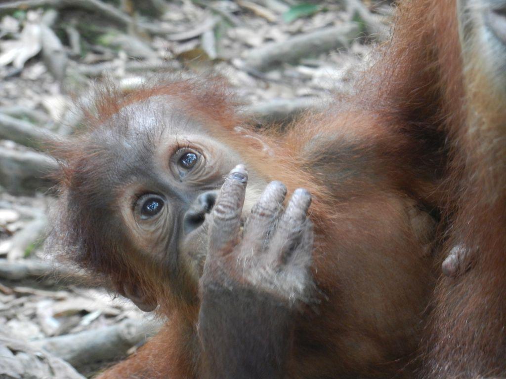 Orang Utans Sumatra Trekking