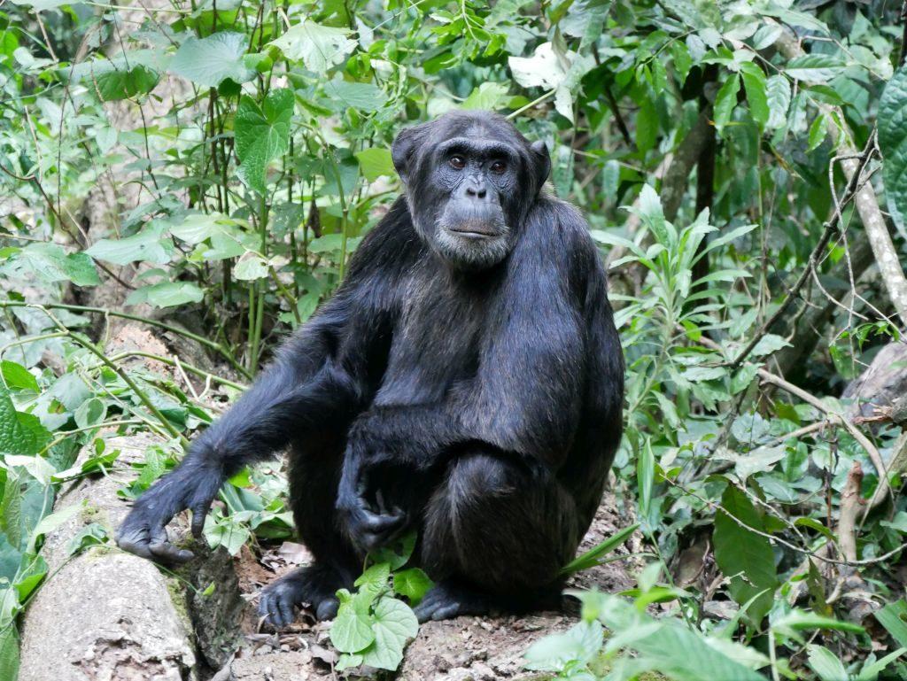Schimpansen Uganda