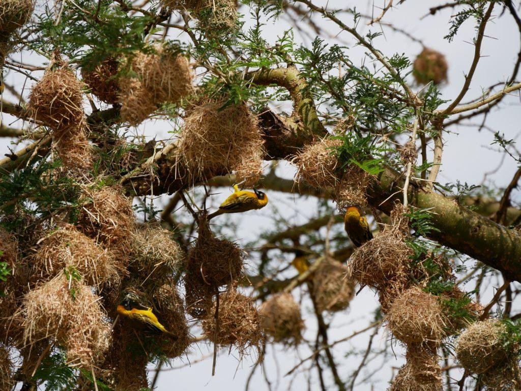 Webervögel Safari Uganda