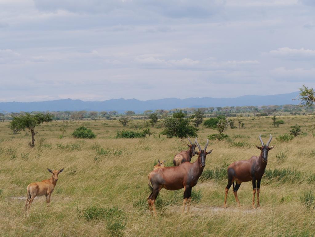 Antilopen Uganda
