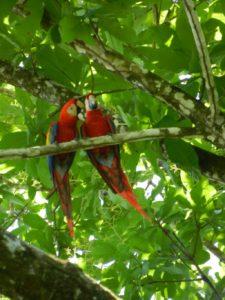 Aras Costa Rica