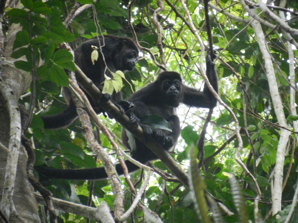 Brüllaffen Cahuita Nationalpark