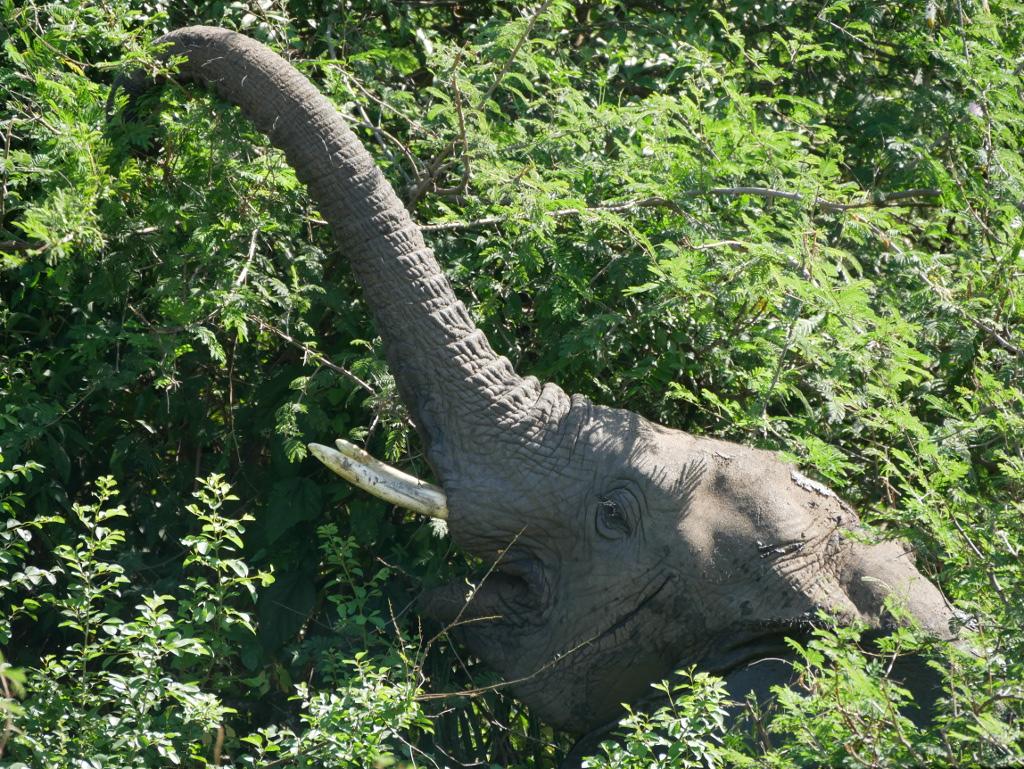 Elefant Uganda Reise