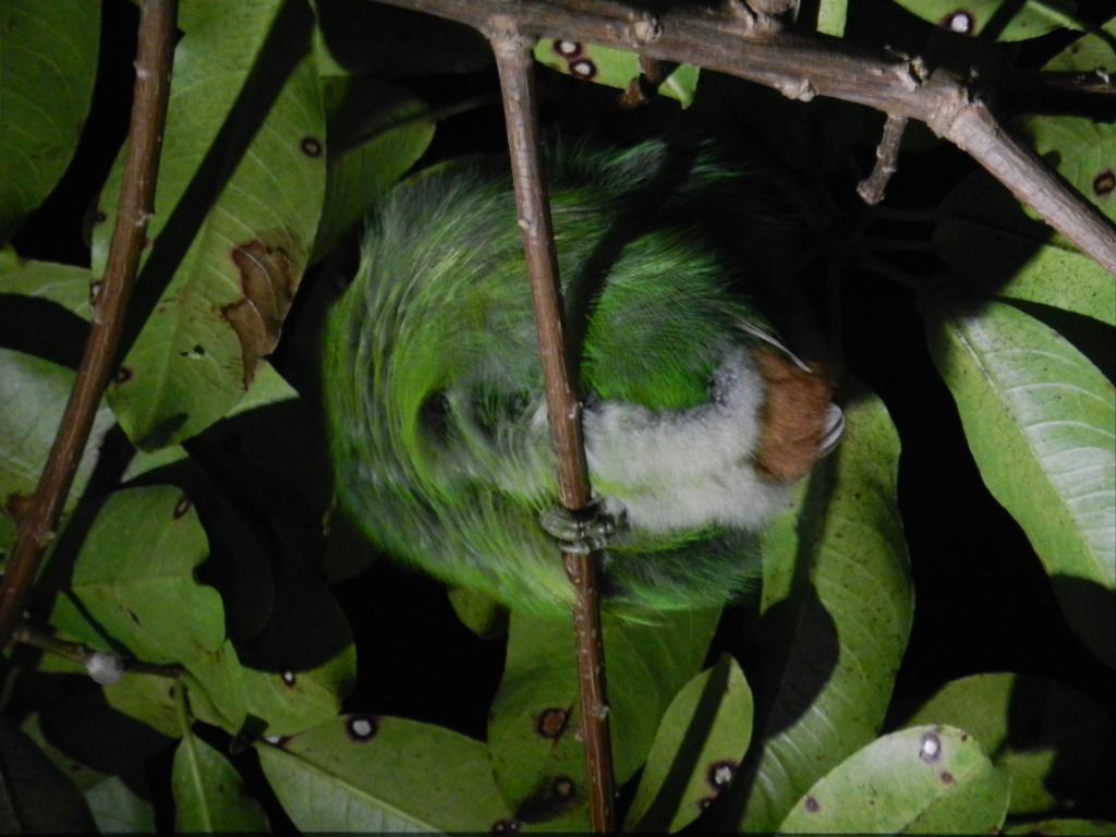 Schlafender Tukan Monteverde