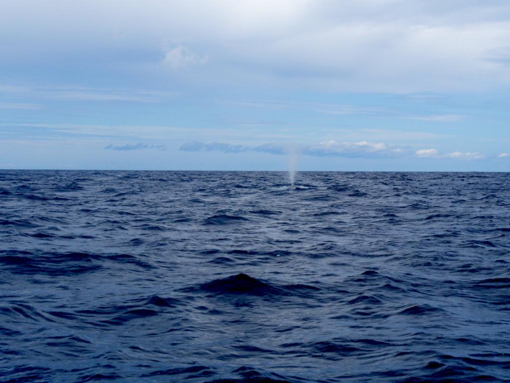Blauwal Whale Watching São Miguel