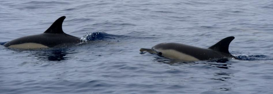 Delfintour Azoren Rundreise