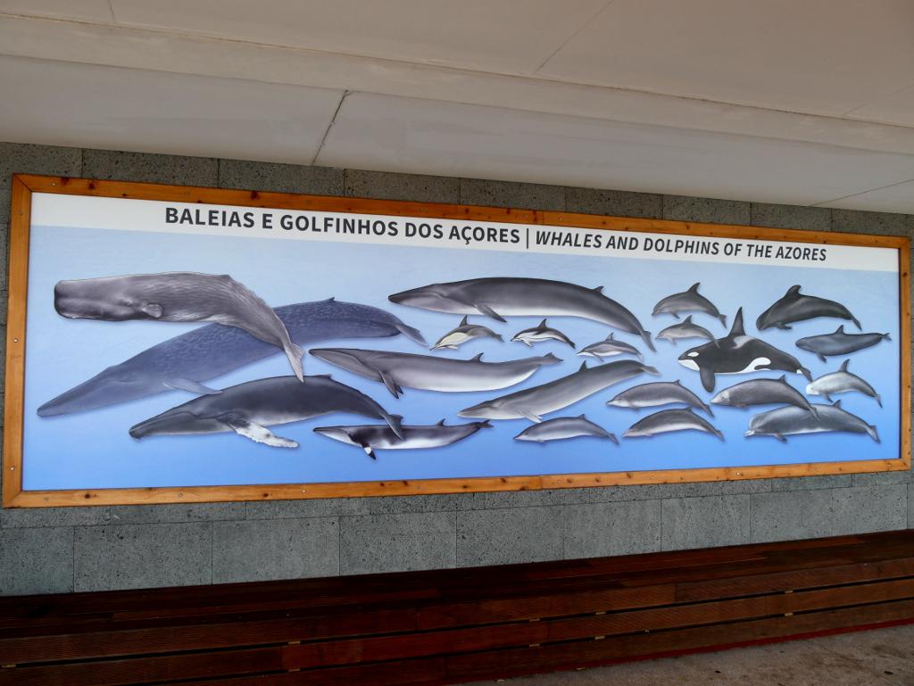 Wal- und Delfinarten Azoren
