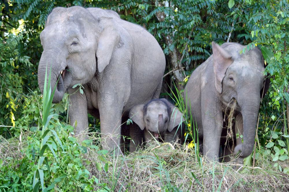 Elefanten Borneo