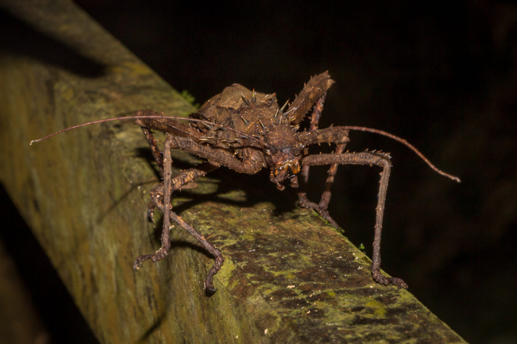 Mulu-Nationalpark-Stickinsect