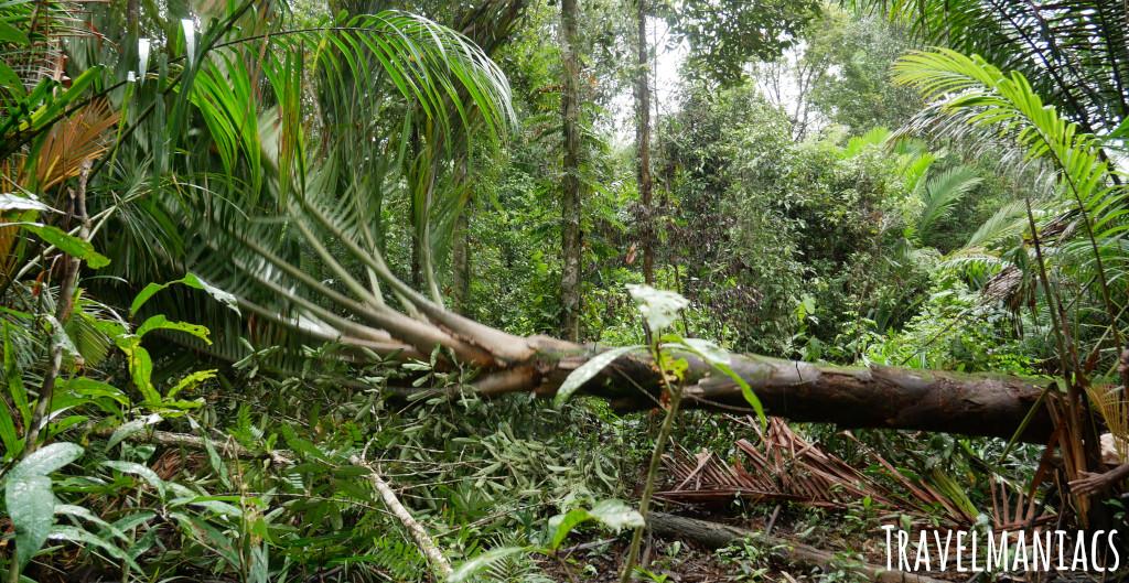 Sago Palme Papua