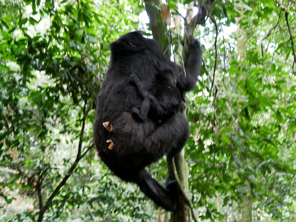 Gorillas Uganda
