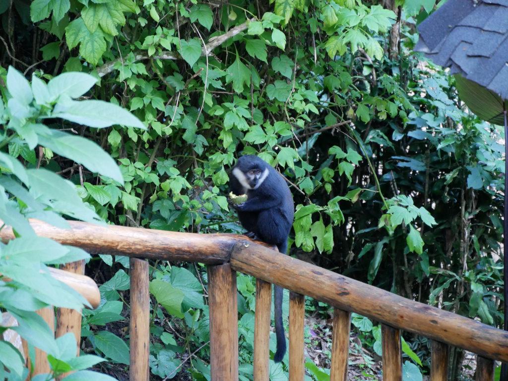Primaten Bwindi
