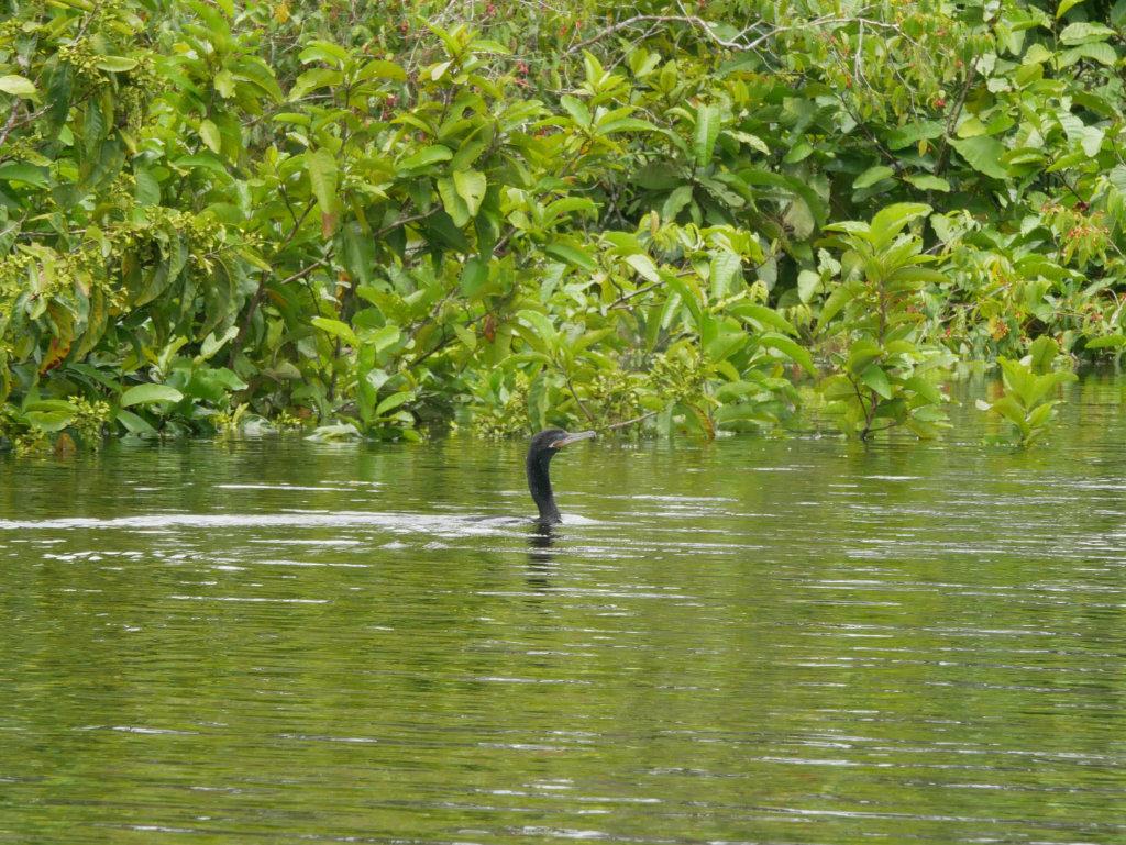 Amazonas Vogel