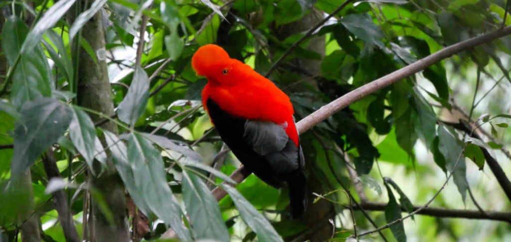 Andenklippenvogel Reserva Natural Gallito de Roca