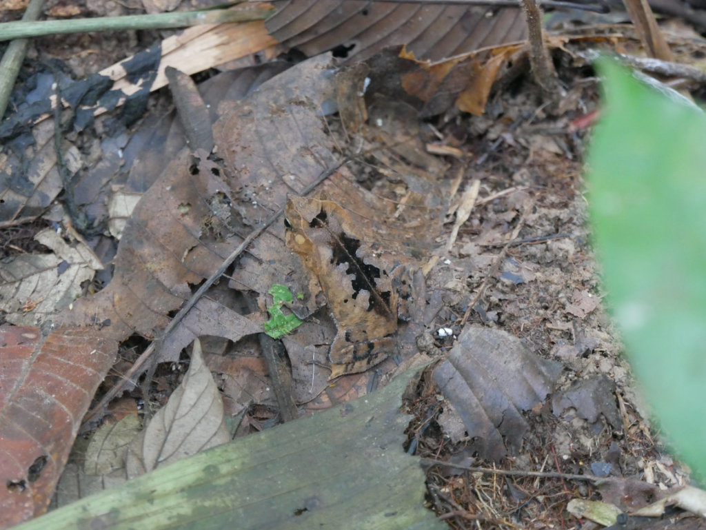 Frosch Amazonas