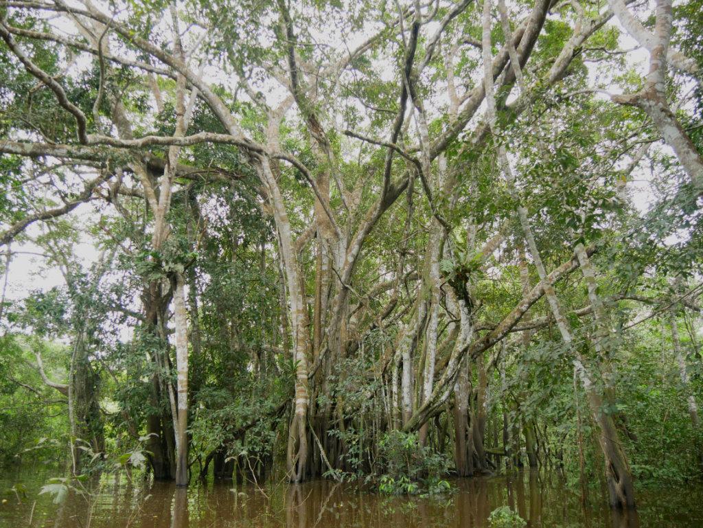 Schwimmende Wälder Amazonas