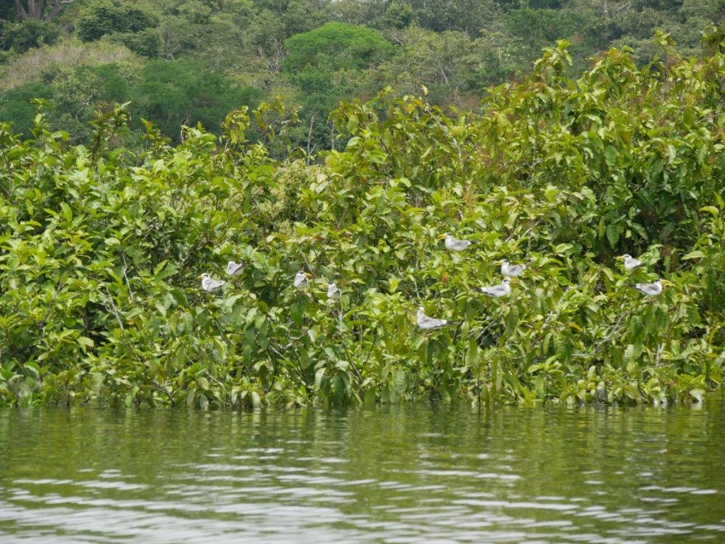 Vögel Amazonas Kolumbien