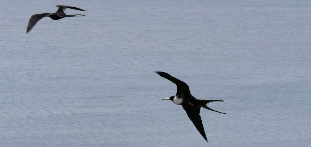 Fregattvögel San Cristóbal Galapagos