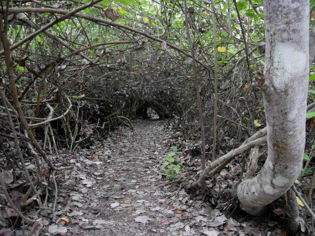 Mangroven El Estero Isabela Galapagos