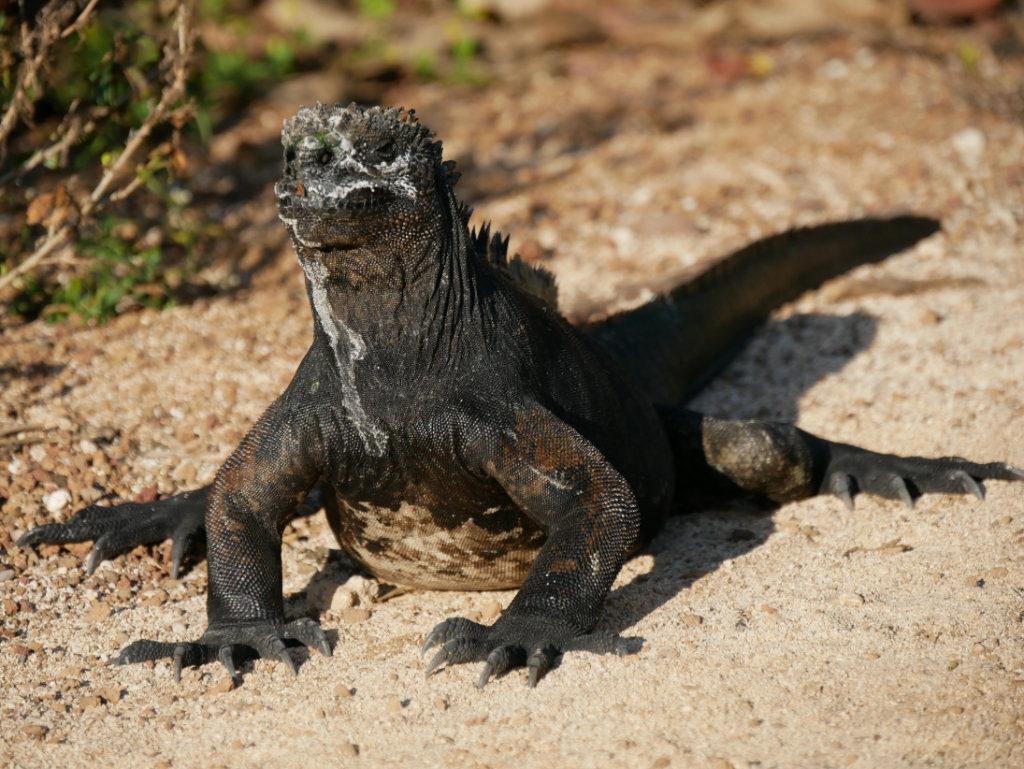 Meerechse Galapagos auf eigene Faust