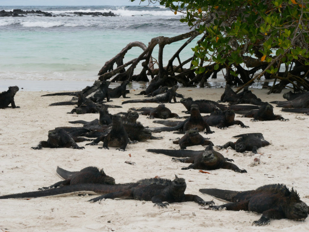 Meerechsen Galapagos Tortuga Bay