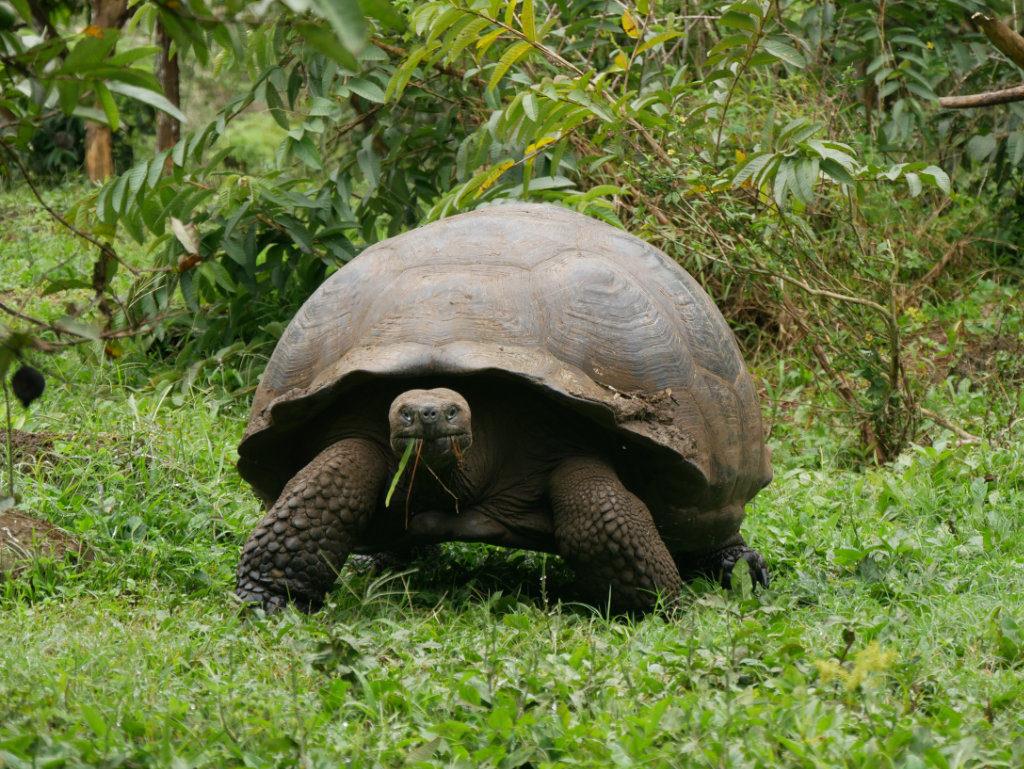 Riesen Schildkröte Santa Cruz Ausflüge