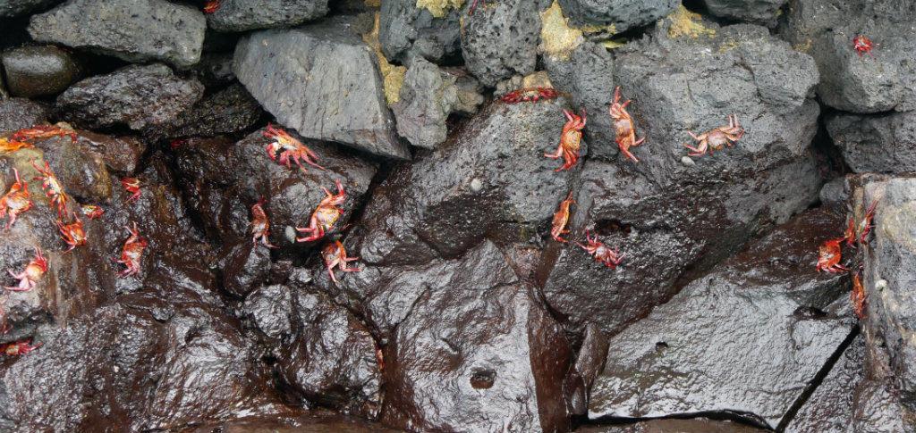 Rote Klippenkrabben Galapagos