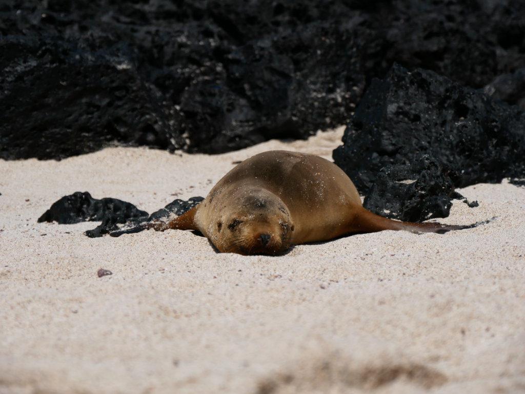 San Cristobal Punta Carola Seelöwen