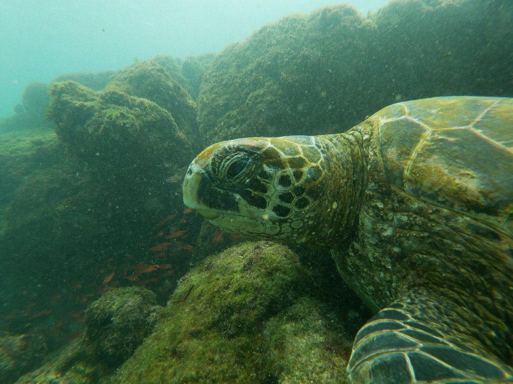 Schildkröte La Fe Schnorcheln