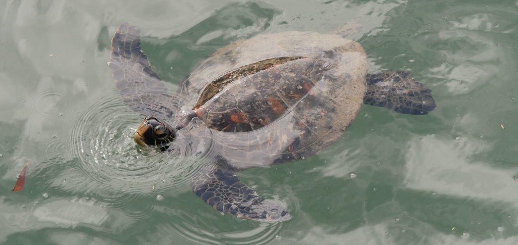 Schildkröte Laguna de los Tiburones