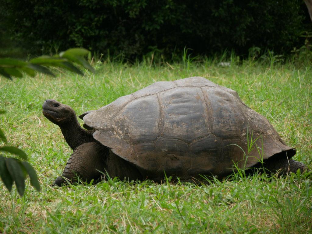 Schildkröten Galapagos Ausflug Santa Cruz