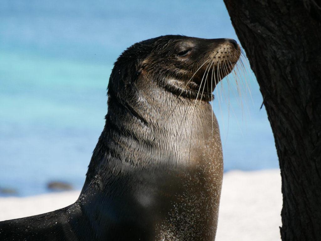Seelöwe Playa Mann