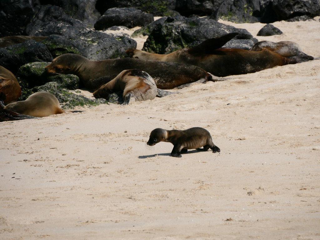 Seelöwen Baby Playa Mann