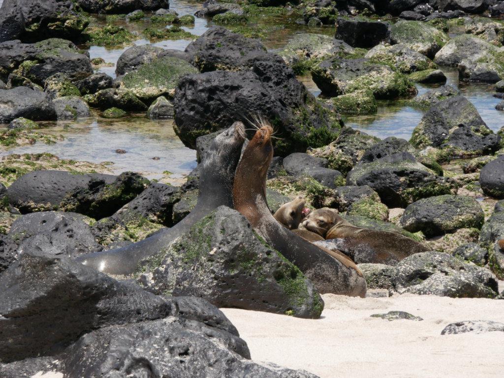 Seelöwen Kampf Punta Carola