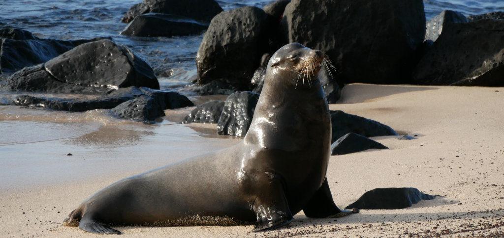 Seelöwen Männchen San Cristobal Galapagos