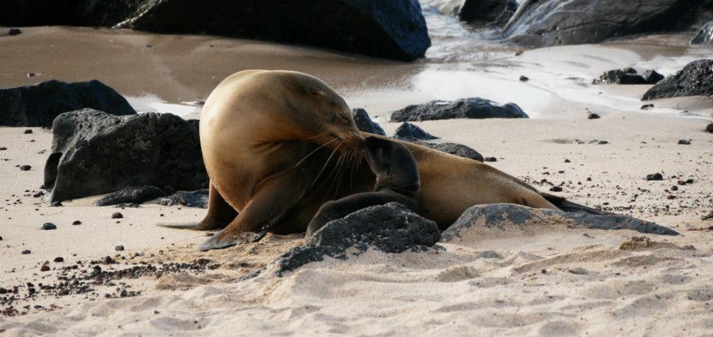 Seelöwen San Cristobal Strand Galapagos