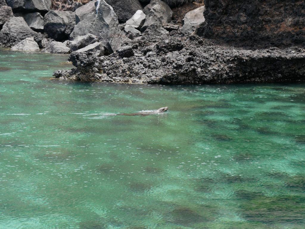 Seelöwen Tijeretas San Cristobal Galapagos