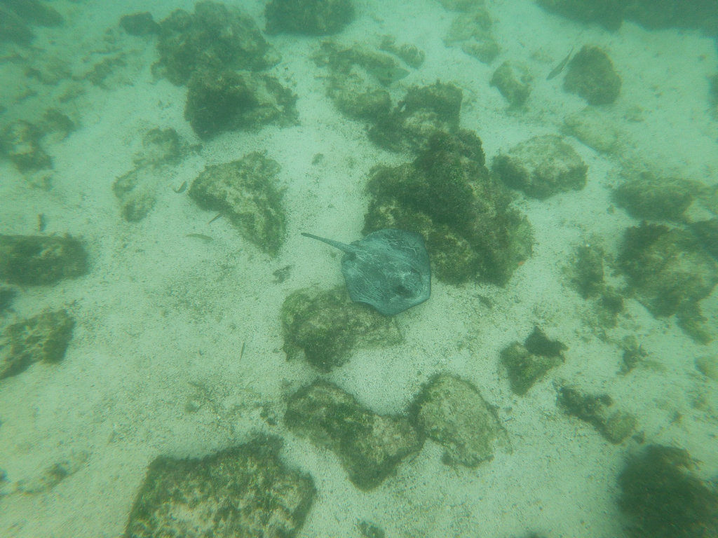 Stachelrochen La Fe Schnorcheln Galapagos