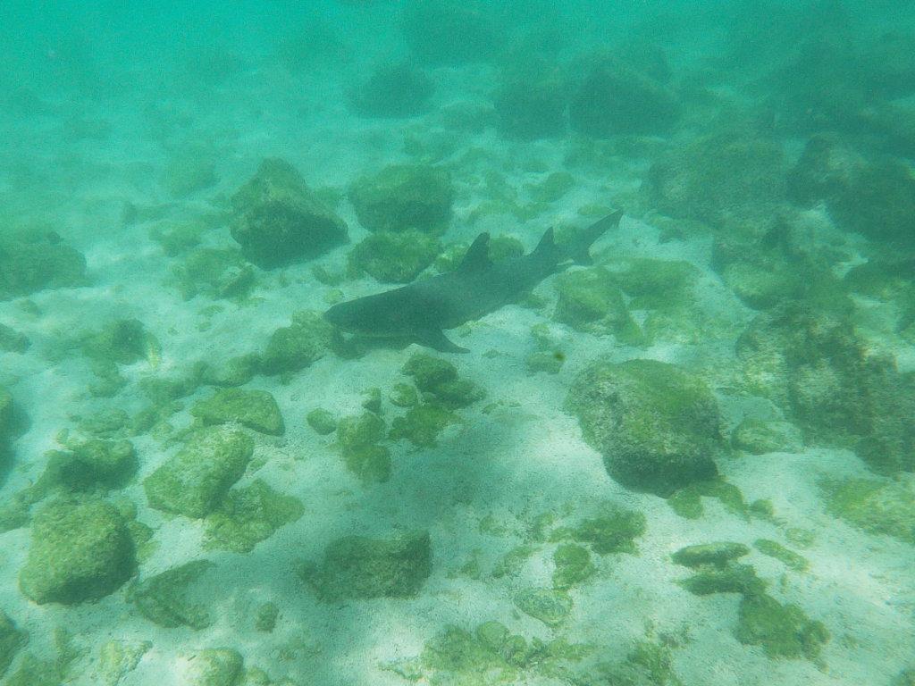 Weißspitzenriffhai Pinzon Schnorcheln Galapagos