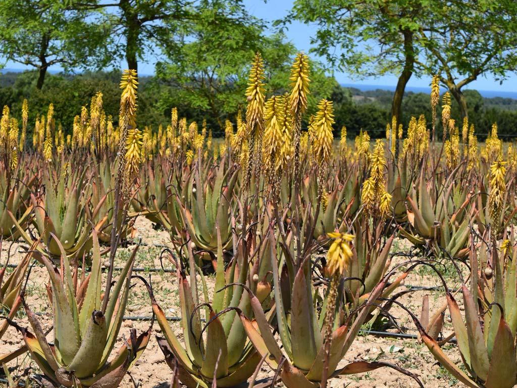 Aloe Vera Farm Mallorca Blüten