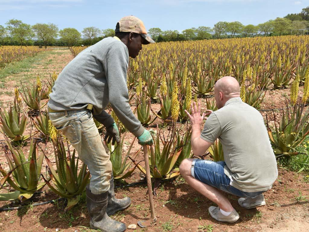 Aloe Vera Farm Mallorca Unkraut jähten per Hand
